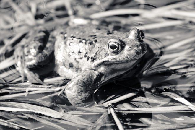 Frosch schwarz-weiß