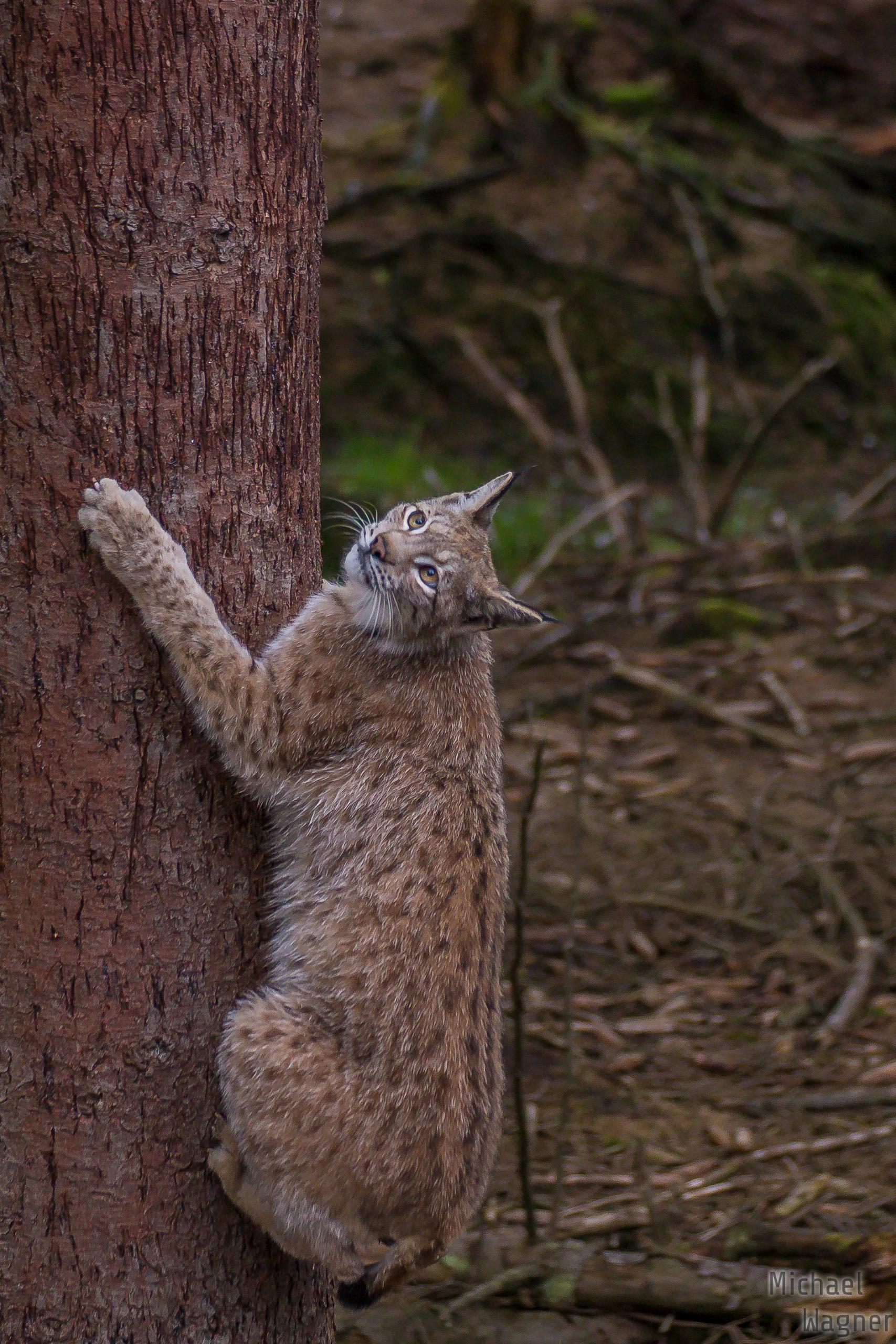 Am Baum kletternder Luchs