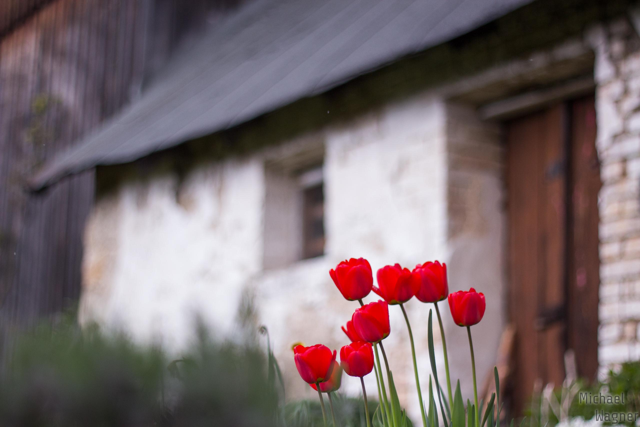Tulpen vor der Mähring